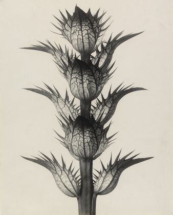 xxx Acanthus mollis. Common or soft-leaved Bear's Breech. Bracteoles, with the flowers removed, enlarged 4 times.  Karl Blossfeldt (German, 1865-1932)    1898-1928.
