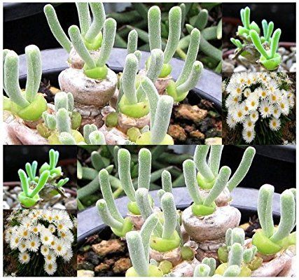 Best Monilaria Images On Pinterest Succulent Plants Cacti - Japan is going mad over these tiny succulents that look like bunny ears
