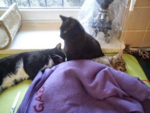 Chez ce vétérinaire, l'infirmière est un chat – L'Humanosphère