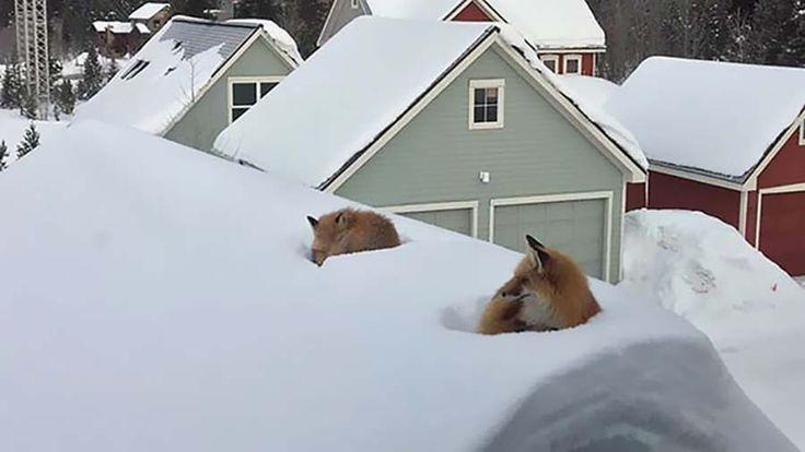 Однажды утром, когда Энди Карвер (Andy Carver) проснулся, то он увидел одну очень необычную картину — пара лис просто решила вздремнуть на крыше его дома. «Только моя жена открыла жалюзи &#82…