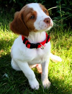 Sweet little Brittany Spaniel baby!  I miss Tuffy. Best dog ever.