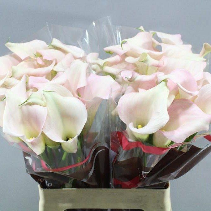 Calla Lily Captin Melrose Zantedeschia Is A Pink Arum Type Lily Perfect Wedding Flowers Regal Strong And Long La Pink Calla Lilies Calla Lily Zantedeschia