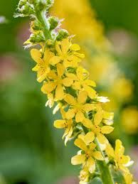 BORDERS - Agrimony, Agrimonia eupatoria - also known as Church Steeple or Sticklewort