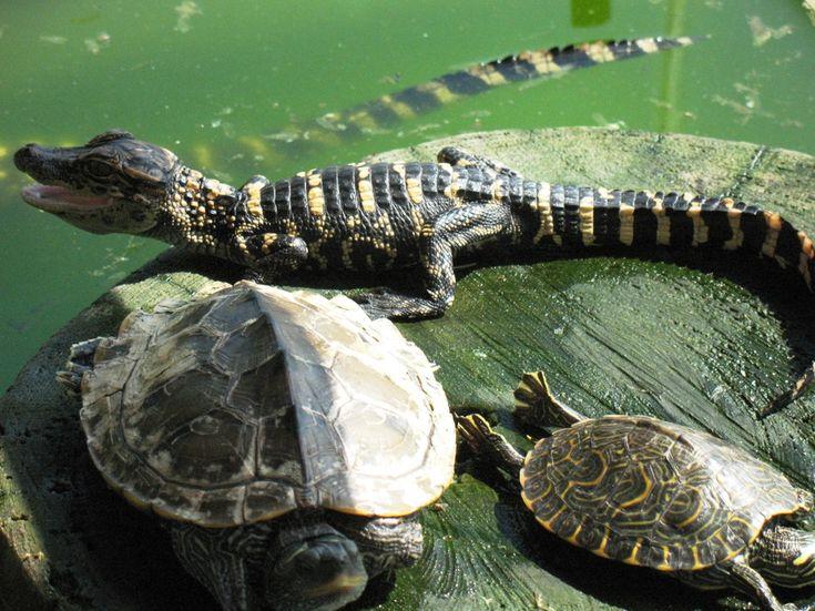 Louisiana Swamp Gator   Marrero, LA : baby gator and turtles - Lafitte Swamp Tour Marrero, LA