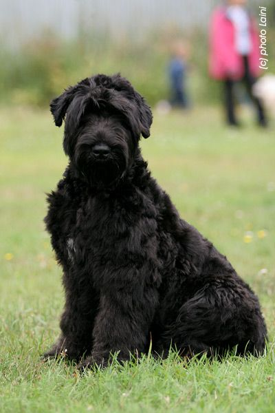 Black Russian Terrier. this guy looks just like my Oona!