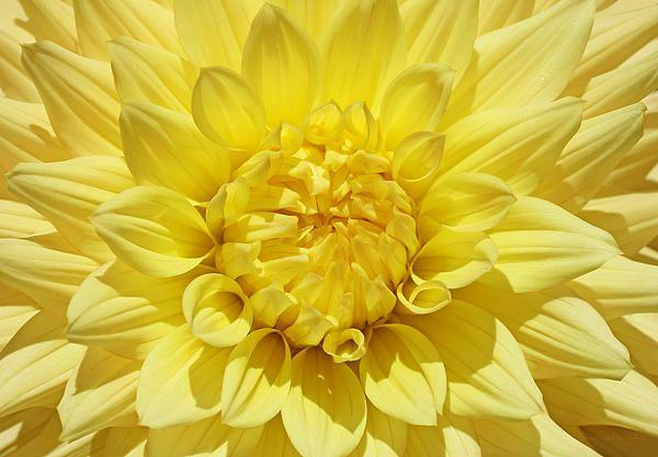 Summer yellow Dahlia flower. #yellow #dahlia