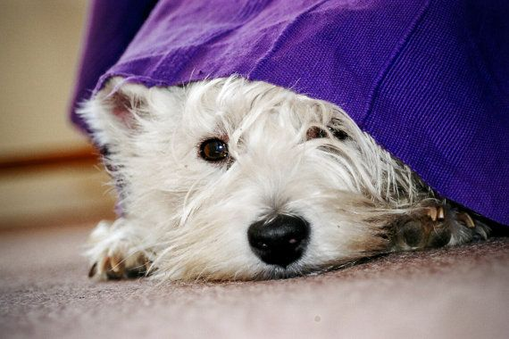 I am Crumpet 16 Westie Dog Photography West by shortwork