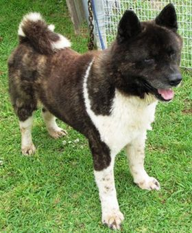 BIG BLUE HAS LEFT THE BUILDING@ ADOPTED!: I'm BIG BLUE and I am a purebred Akita. That makes me a canine Ninja!! LOL!  i am about 2 years old and I really need a home. Please take me home with you.  To view more adoptable pets at the Alexandria Animal Shelter go to www.coaas.org.