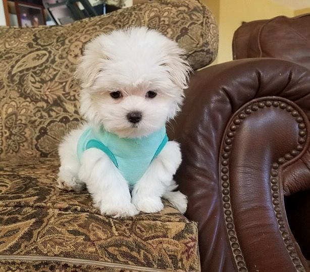 Maltese Puppy For Sale In Los Angeles Ca Adn 51320 On Puppyfinder Com Gender Female Age 9 Weeks Old Maltese Puppy Maltese Dogs Maltese Puppies For Sale