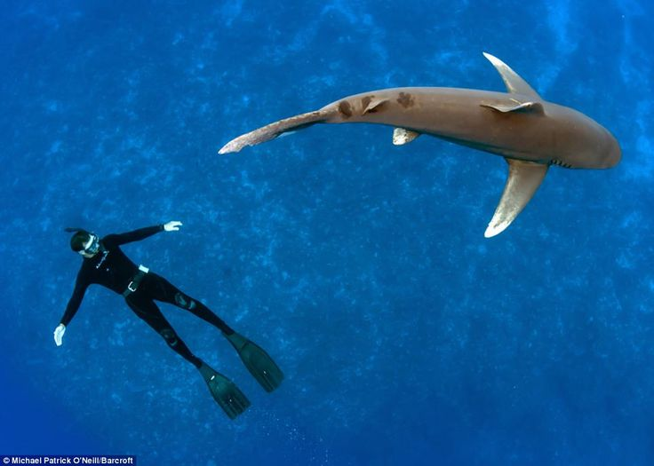 A Whitetip Shark Circles Around Diver Vincent Canabal In The Crystal Clear  Waters Surrounding Cat Island In The Bahamas Picture: Barcroft Media