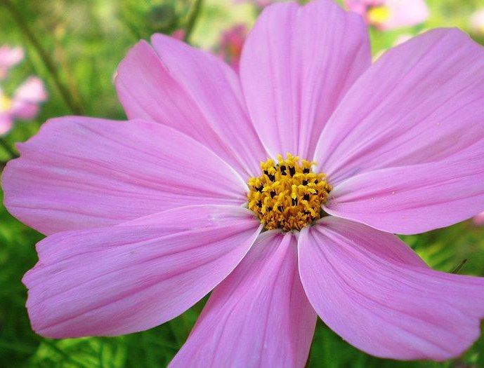 family tat ---  October birth flower | cosmos flower, october birth month flower.  mom's favorite color was purple too