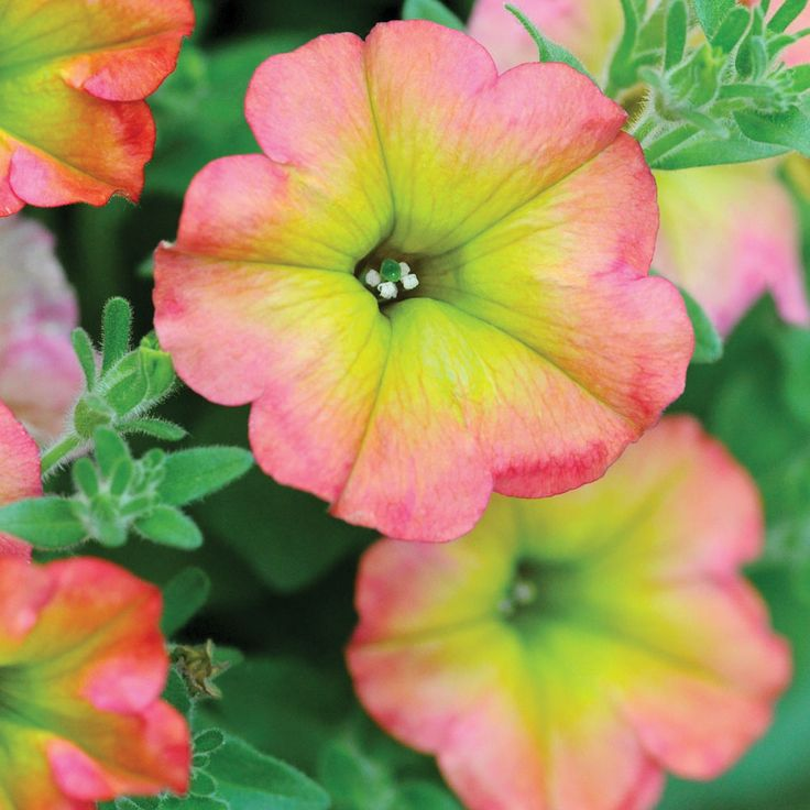 Petunia 'Cremissimo' - Annual Plants - Thompson & Morgan