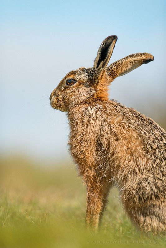 Mammals, Wild Things, Old Mans, Wild Animals, Hare, Rabbits, North America, Exotic, Feather