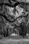 Jon Glaser Spanish Moss in Georgia II Photography Black and White