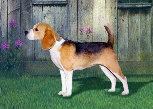 65 best beagles images on pinterest beagles animals and beagle puppies. Black Bedroom Furniture Sets. Home Design Ideas