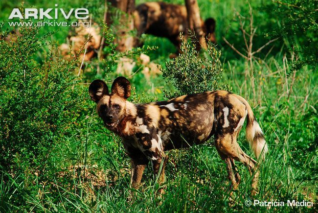African wild dog , the painted dog is one of the most social members of the canid family in the world