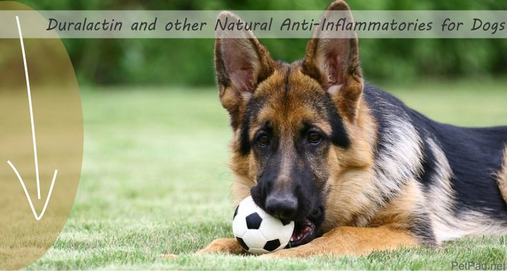 Are you looking for natural pain relief for your dog? Here we examine natural anti-Inflammatories for dogs such as Duralactin and other dog OTC Pain Meds.