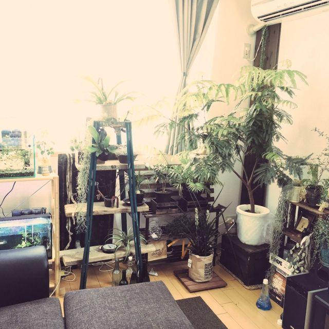 hissacooさんの、Overview,観葉植物,雑貨,アンティーク,水槽,ソファ,100均,DIY,古道具,多肉植物,フェイクグリーン,足場板,脚立,コウモリラン,スノコリメイク,いなさうるす屋さん,ワトコオイルエボニーについての部屋写真