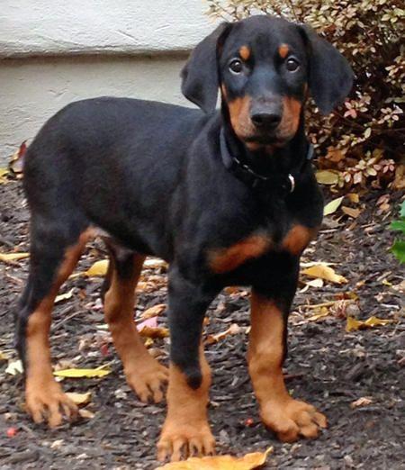 Adorable Doberman Pinscher Puppies. For more cute puppies