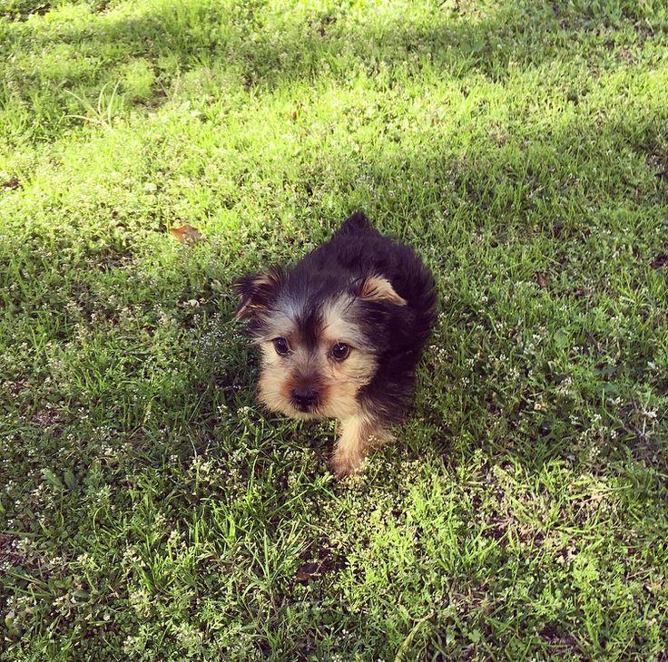 Fantastisch Drahthaariger Terrier Yorkie Mischung Bilder - Die ...