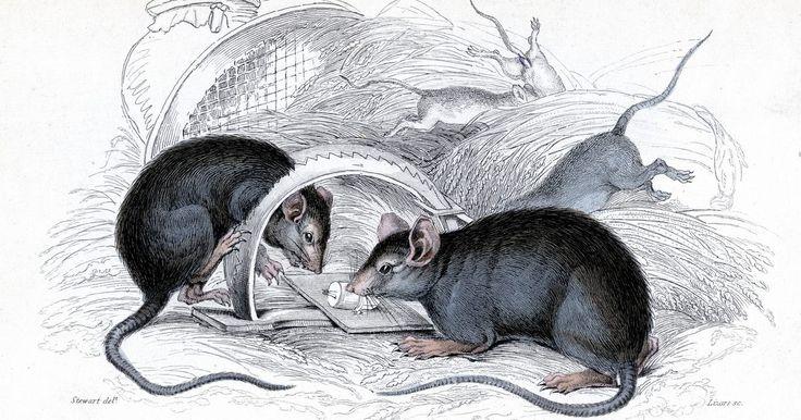 Remédios caseiros para se livrar de ratos. Os ratos são animais noturnos e, por isso, são difíceis de capturar e detectar. No entanto, se você observar fezes de rato onde você guarda alimentos, então esta é uma prova positiva de que os ratos estão em casa. Embora possa parecer que há apenas poucos, eles se reproduzem rapidamente, até 10 vezes por ano, por isso é importante resolver o ...