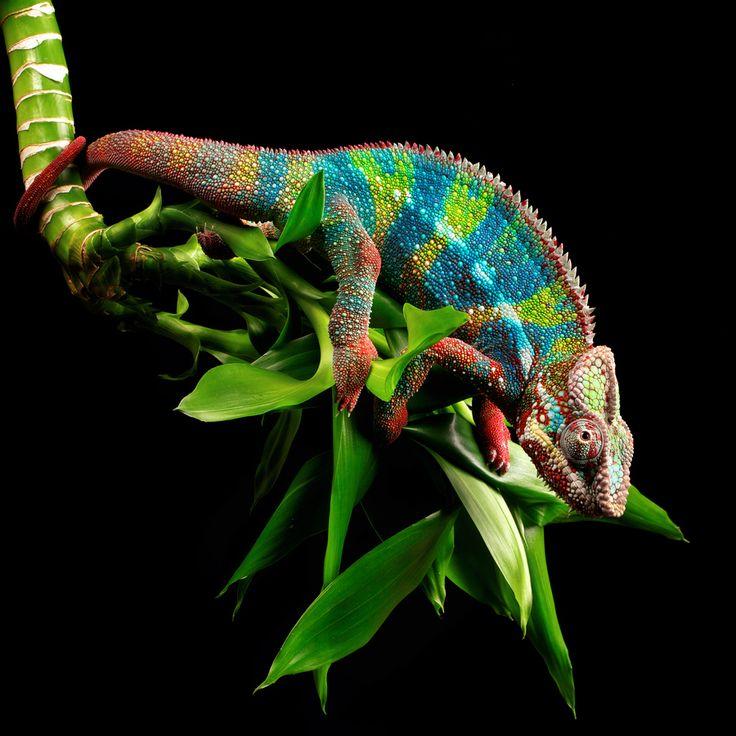 161 Best Chameleon Images On Pinterest