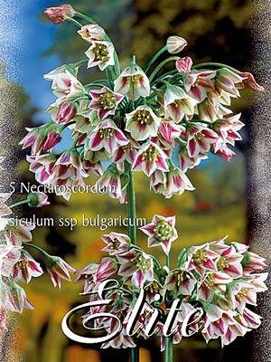 Bulgarischer Zierlauch, Nectaroscordum bulgaricum (Art.Nr. 597210) | Allium/Zierlauch | Frühjahrsblüher | Blumenzwiebeln | Gartenpflanzen | Gartencenter-Shop24