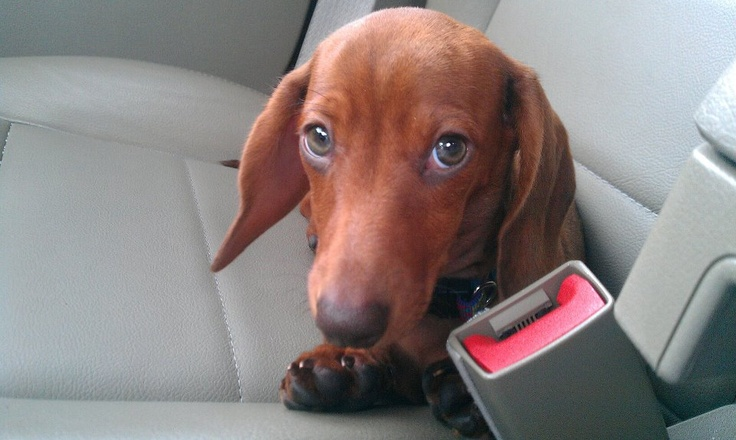 Bentley the Dachshund!Animal And Doxie, Precious Dachshund, Dachshund Lovers, Awesome Doxie, Doxie Tail, Love A Doxie