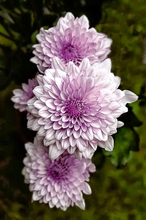 Lavender dahlias flowers garden projects decor pinterest for Flowers that look like dahlias
