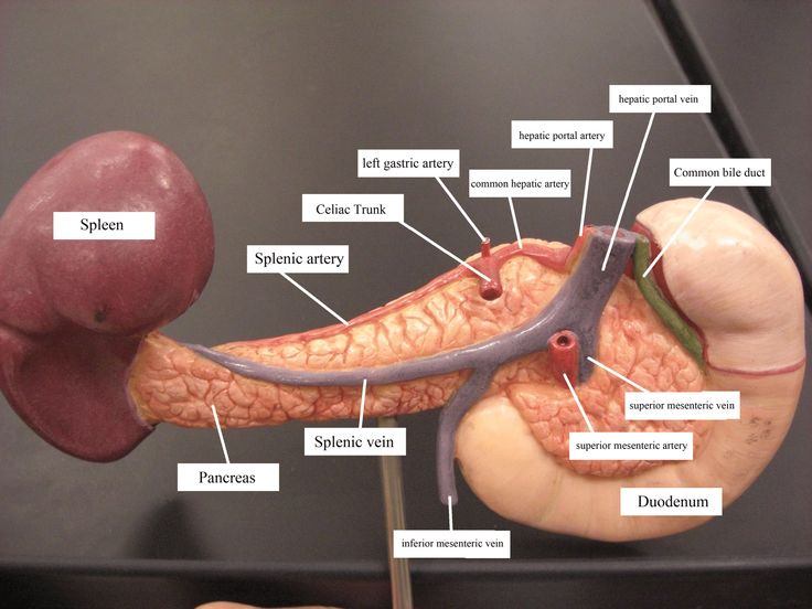 Celiac artery - Wikipedia, the free encyclopedia