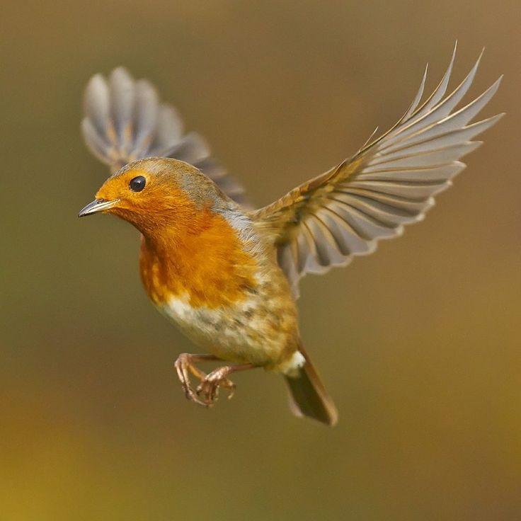 american robin bird flying - photo #24