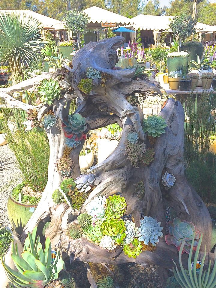 Succulents in driftwood by Rogers Gardens