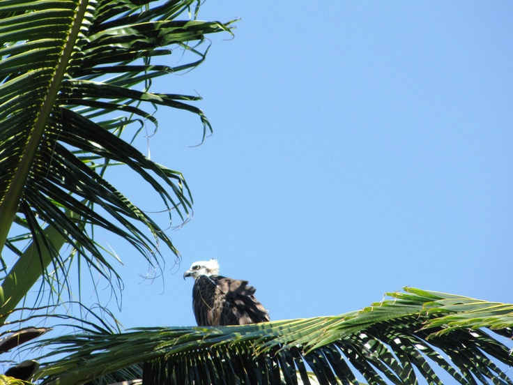 One of our resident ospreys atop a coconut palm at Hatchet Caye. He seems a bit ruffled - he probably just had an encounter with a frigate that tried to steal food from him! #hatchetcaye #belize #ospreys