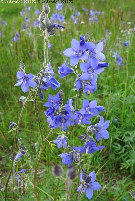 Kellosinilatvan kukinto - kellosinilatva Polemonium acutiflorum kukka kukat kukkii sinilatva kasvi kasvit luonnonvarainen…