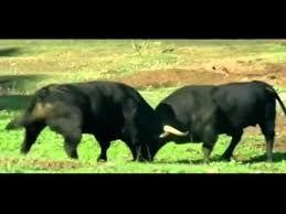 Bildergebnis für wild bull animal