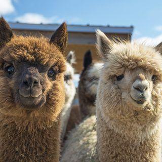Why Do People Raise Llamas?