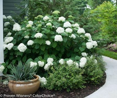 Incrediball Hydrangea 'Abetwo' for Sale - Brighter Blooms Nursery