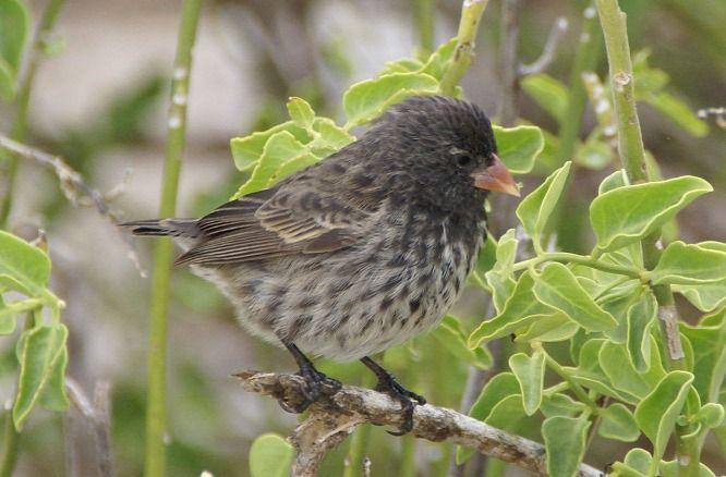 A kreacionisták, illetve az intelligens tervezettség hívei gyakran próbálnak úgy érvelni, hogy az evolúcióelmélet emblematikus madarai, a Darwin-pintyek egyáltalán nem bizonyítják a természetes szelekció, illetve az evolúció létét, hanem csak a fajon belüli változatosságot. A madarak azonban most visszavágtak. Kiderült,...