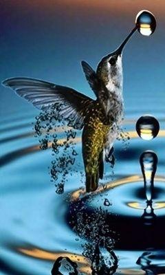 Hummingbird & drop of water. Glorious photograph.