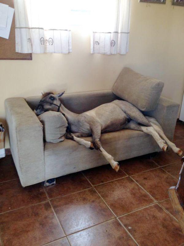 Já viu um Pônei em um sofá? O Pônei dos sobrinhos do cavaleiro Felipe Juares de Lima adora tirar um cochilo no sofá do quarto de sela.