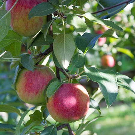 The Blushing Stunner from Down Under - The Pink Lady Apple is a native of Western Australia and does extraordinarily well in warm and hot climates. As an extra perk, the versatile Pink Lady also thrives in colder climates--making this beauty a cold-hardy and heat-resistant treasure.   Get ready for a show-stopping experience from...