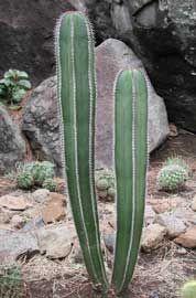 Chilayo, Cereus grande, Cactus órgano