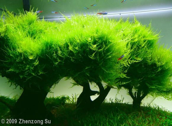 Plants little triangle moss short pearl moss sharp leaf for Live fish aquarium