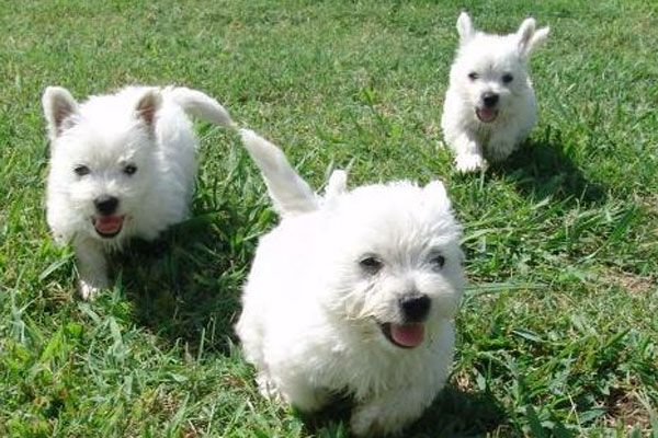 Looking For Dogs And Puppies For Sale In London Westie Puppies Westies Terrier Puppies