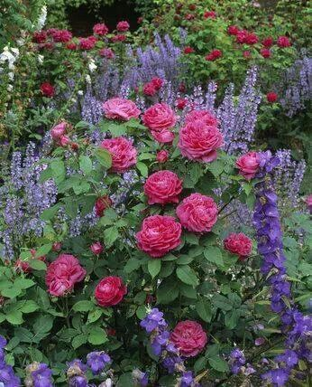 Get rid of ivy, plant blue/purple spires by bush rose °cottage garden° ROSES