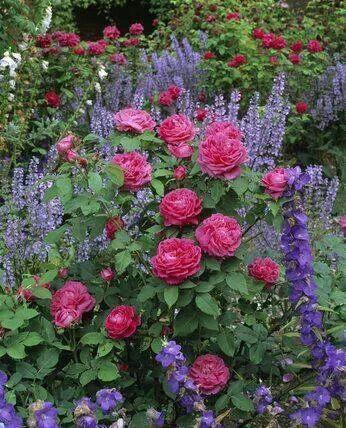 °cottage garden° ROSES