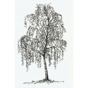 Art-Kure - Silver Birch Tree Perfect for a tattoo.