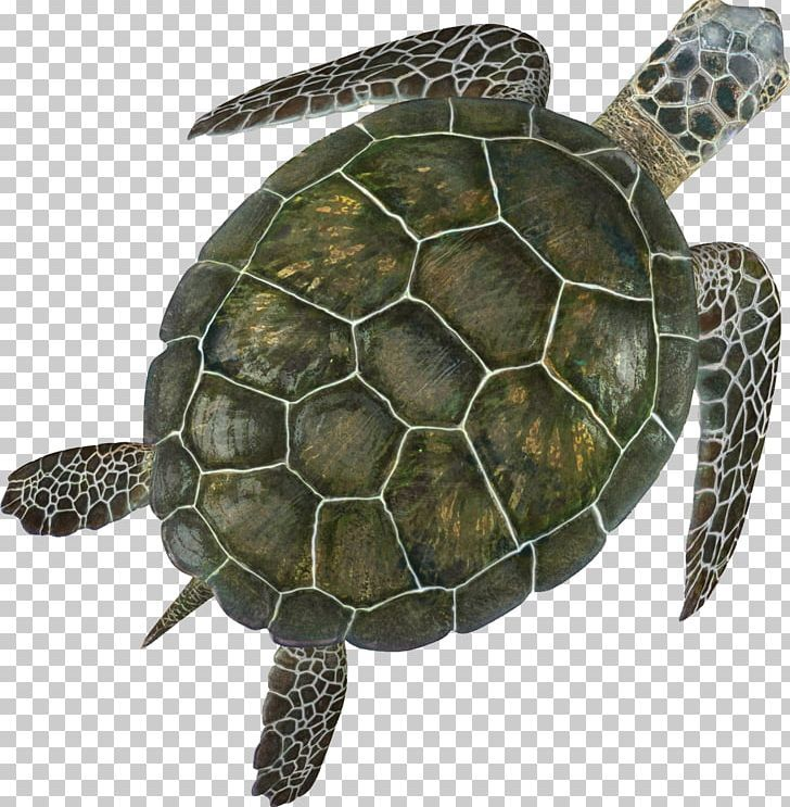 Box Turtle Sea Turtle Turtle Shell Png Animal Animals Box Turtle Computer Icons Emydidae Turtle Shell Turtle Drawing Turtle