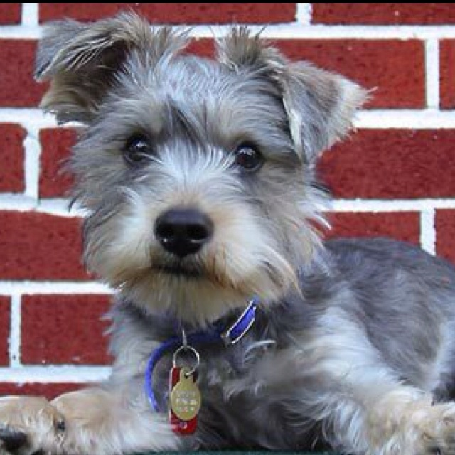 Schnauzer/Yorkie Mix .... if it were possible for my two ...