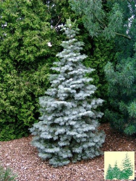 398 best conifers images on pinterest garden plants for Flowering dwarf trees for landscaping